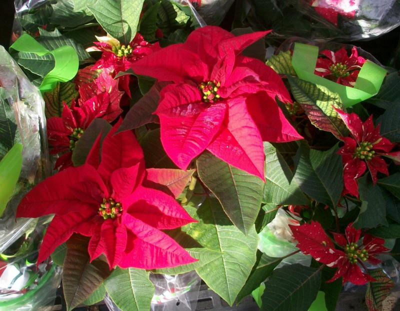 I Did It Again Another Year And Another Dead Poinsettia