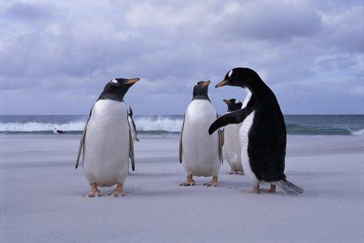 Penguins Meeting on Beach