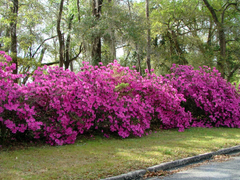 azalea bush in Lake Asbury Green Cove Springs Fl