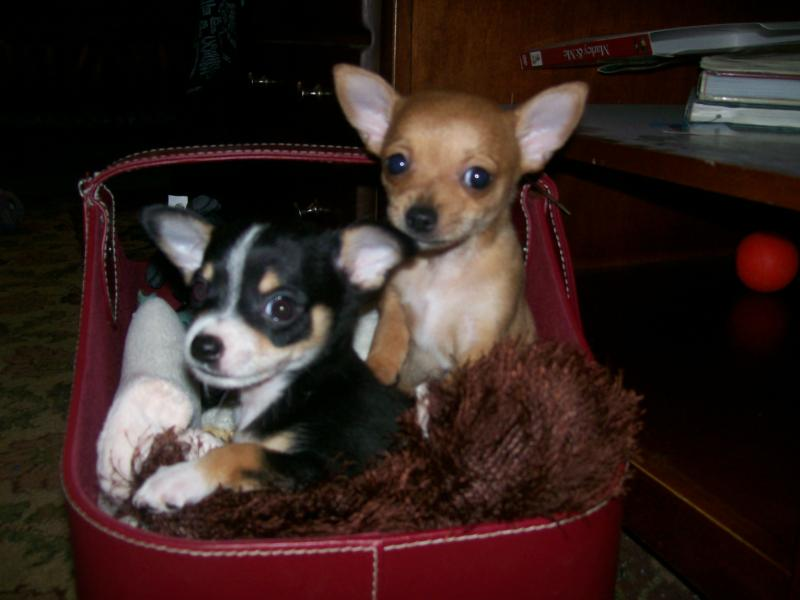 Chihuahua puppy frisco texas
