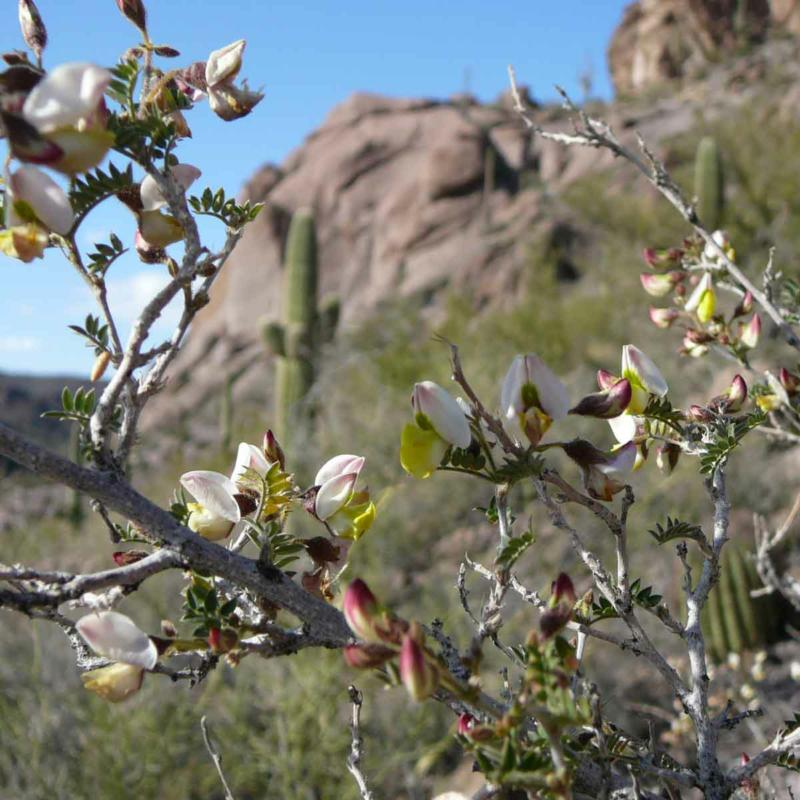 Unknown flowering shrub on Cat Mountain, Tucson, AZ