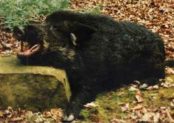 Wild Boar Are Hunted In Big South Fork Area
