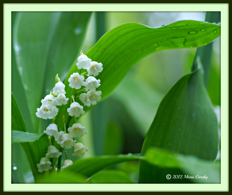 Lilies of the Valley in Balsam NC copyright 2012 Mona Gersky