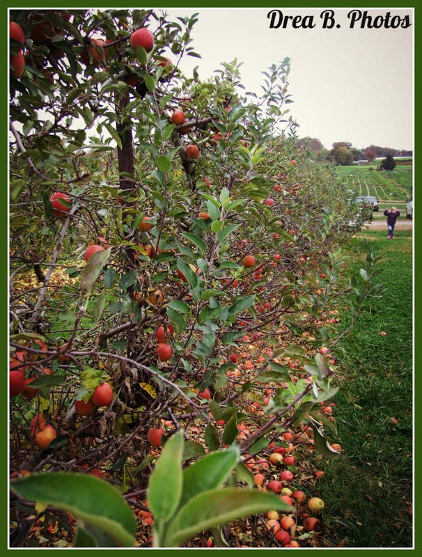 Pick your own apples at Larriland Farm