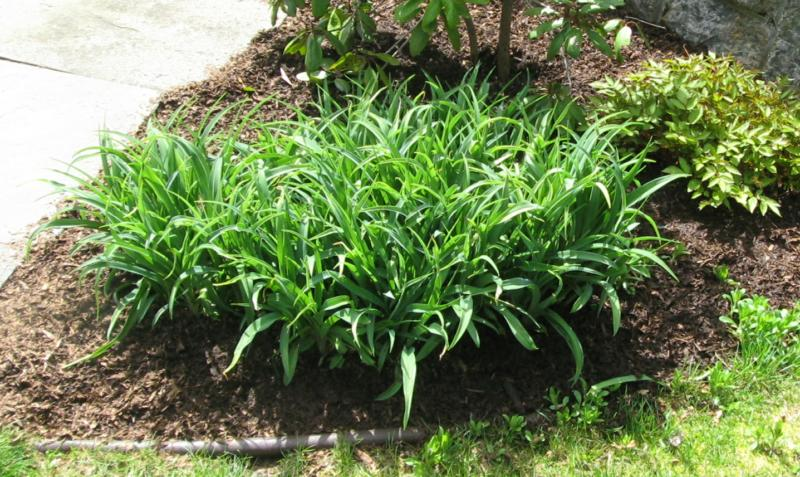 sweet peat mulch in the garden with lilies