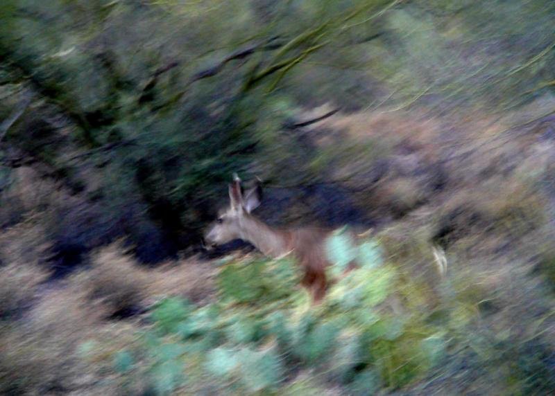 Desert Mule Deer in the Tucson Mountains, the westerly boundry of the City of Tucson, Arizona