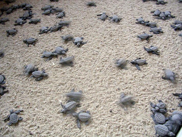 Adopt A Baby Sea Turtle