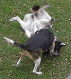 Daisy & Ringo playing