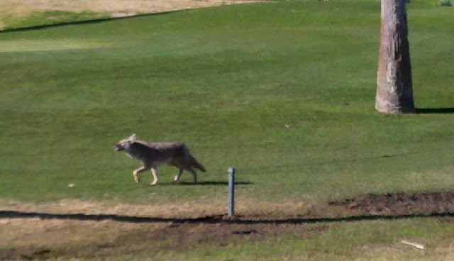 coyote on continental golf course scottsdale az