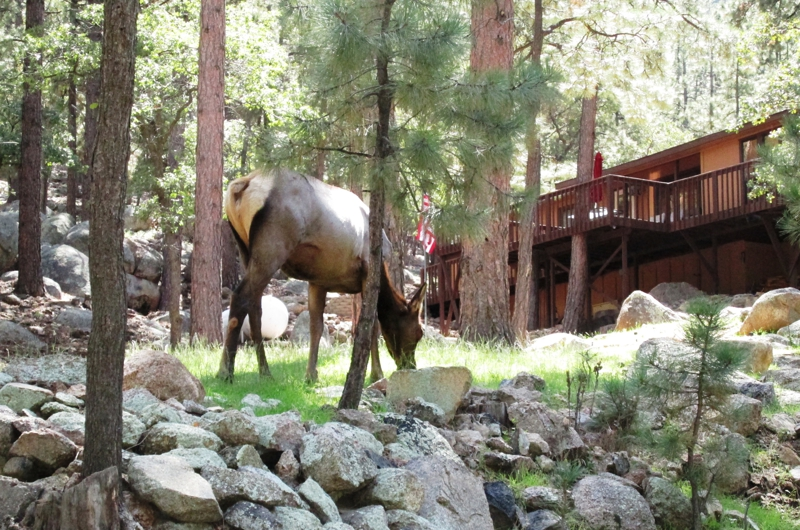 Elk on Cabin Lawn