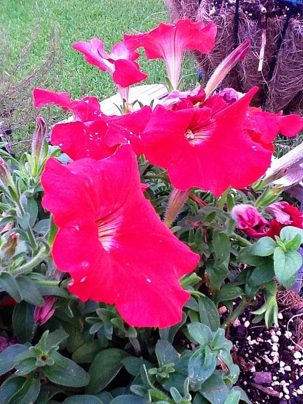 2012 Walker County TX Heirloom Gardening, Mari Montgomery Realty / Keller Williams, 284 I-45 S Suite 1 Huntsville TX 77340
