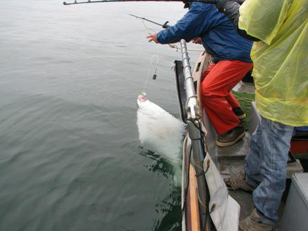 hauling in a 60lb halibut