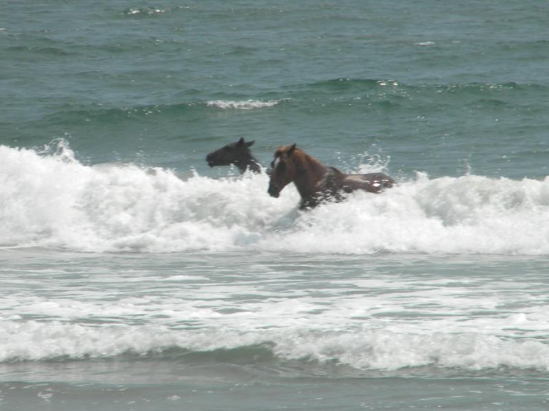 Wild horses in Corolla NC. Outer Banks