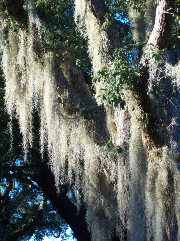 Spanish Moss, Florida Plants