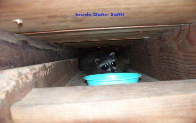 The Baby Raccoons
