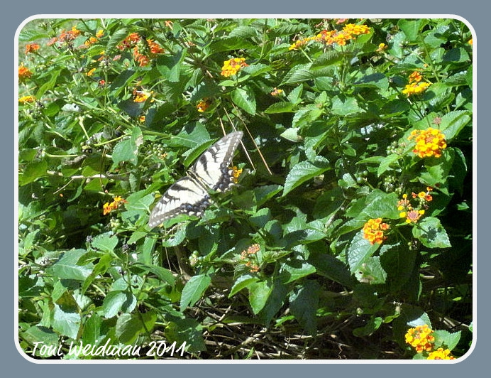 Nature in Florida - The Tiger Swallowtail Butterfly
