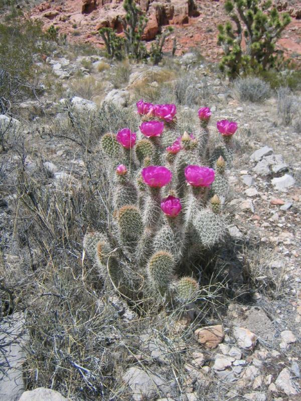 Mesquite Nv Desert Cactus flower photo