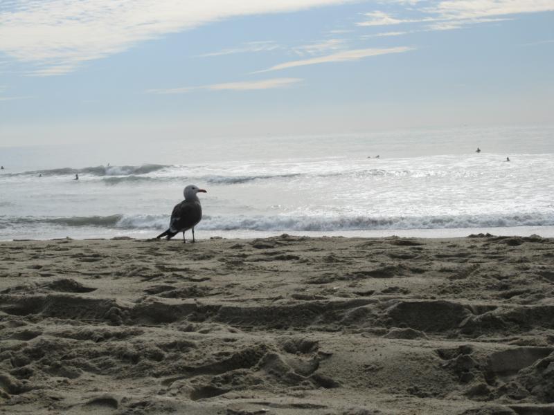 Newport Beach Seagull