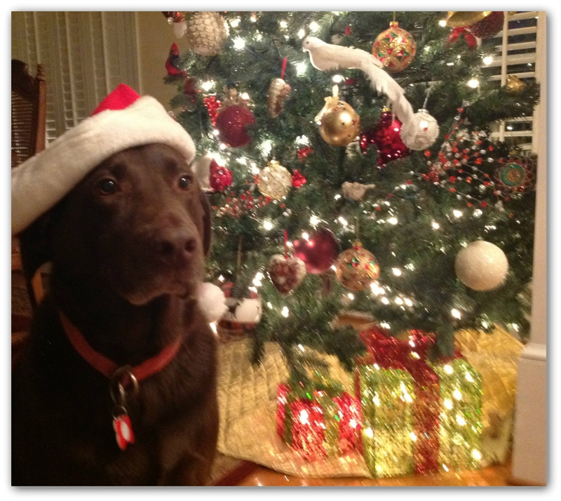 One Of My Holiday Traditions Is I Always Take Photos Zeke Chocolate Lab In His Santa S Elves Cap By The Christmas Tree He Doesn T Look To Hy