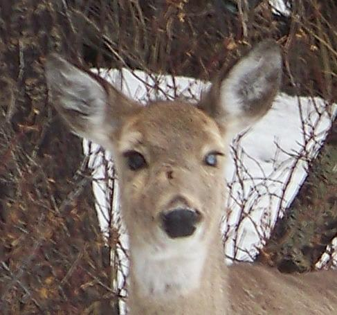 Deer with a Blue Eye - Close-up