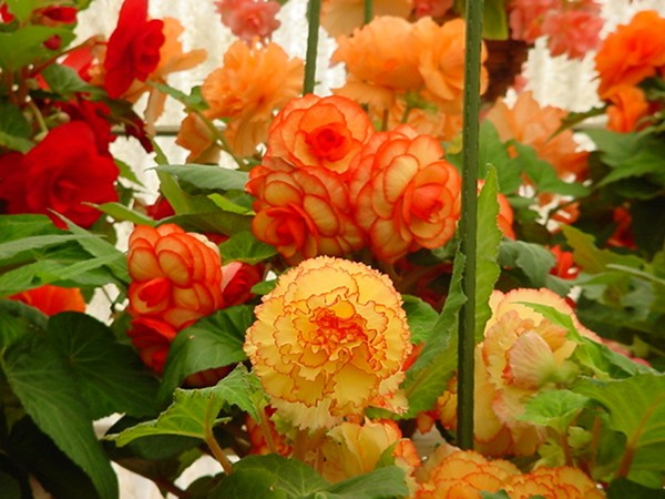 Beautiful Begonias Courtesy Of White Flower Farm In Morris Ct