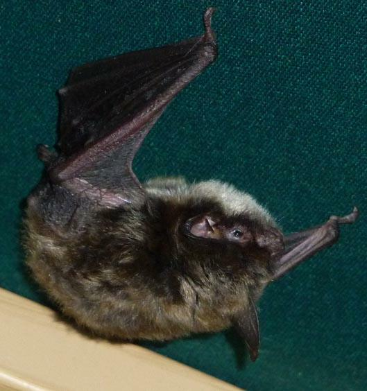 Bat with Open Eye HomeRome Realty