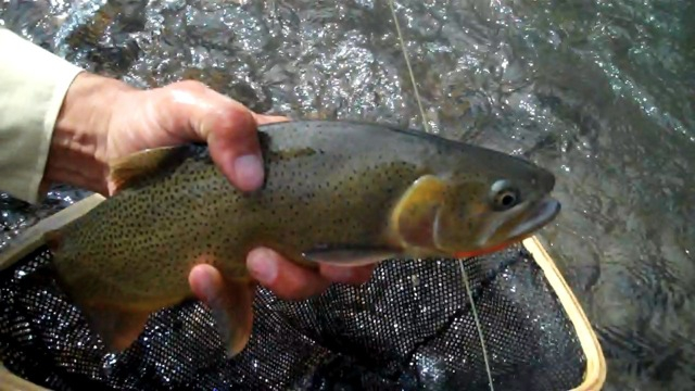 Wyoming cutthroat