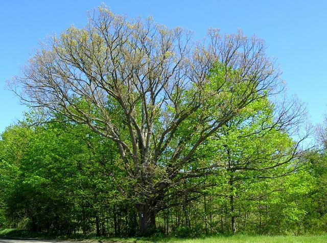 Ada Drive Oak Tree Ada MI