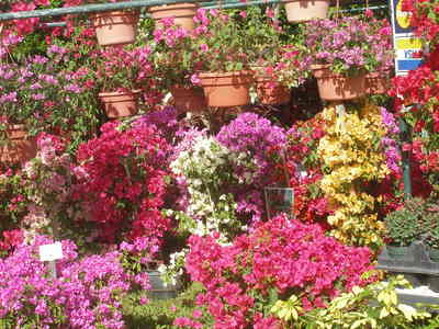 Bougainvilleas in bloom