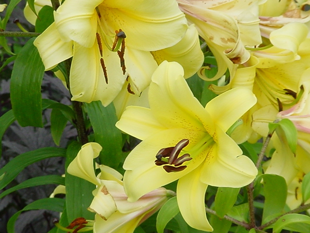Daylilies at White Flower Farm