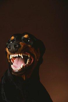 Rottweiler Snarling Caught between a Rottw...