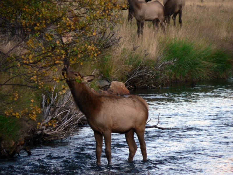 Female Elk Grazing