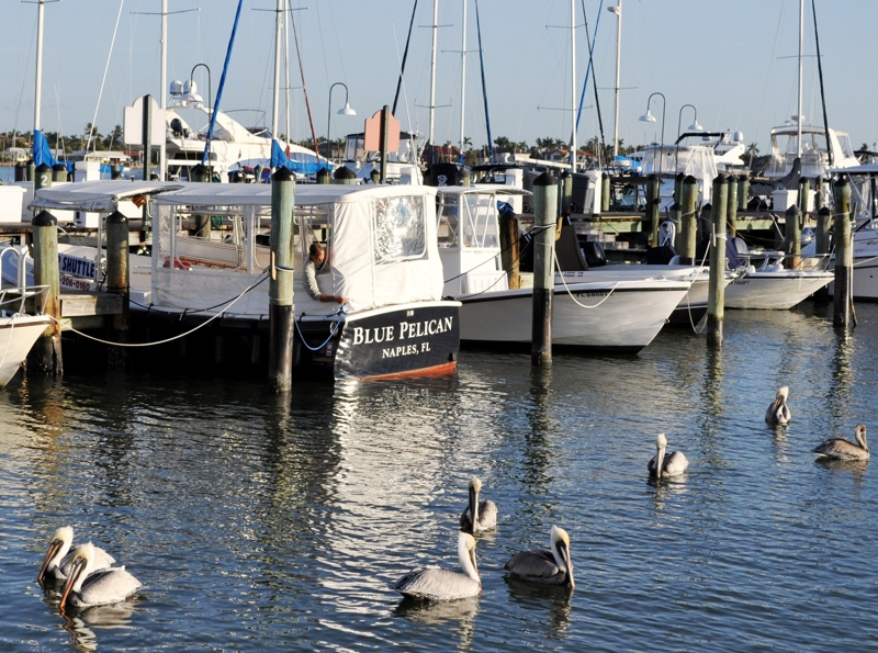 boats in marina - pelicans