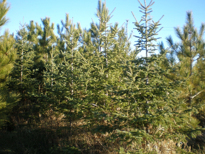 2015 Christmas Trees In Annandale, MN
