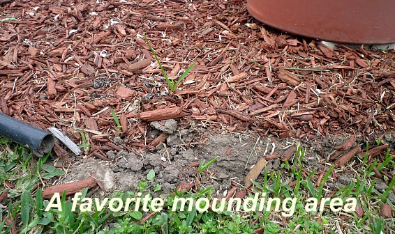Fire ant mound in landscaping border