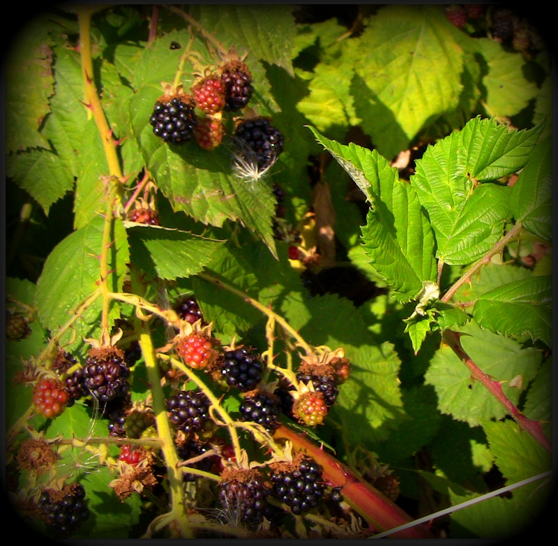 Warm Wild Blackberries - There's a hole in the Bucket