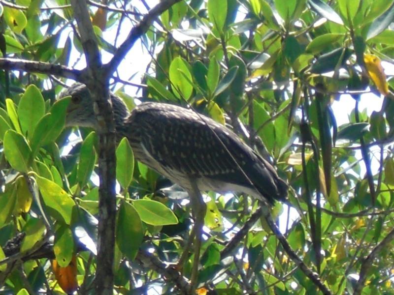 cape coral bird
