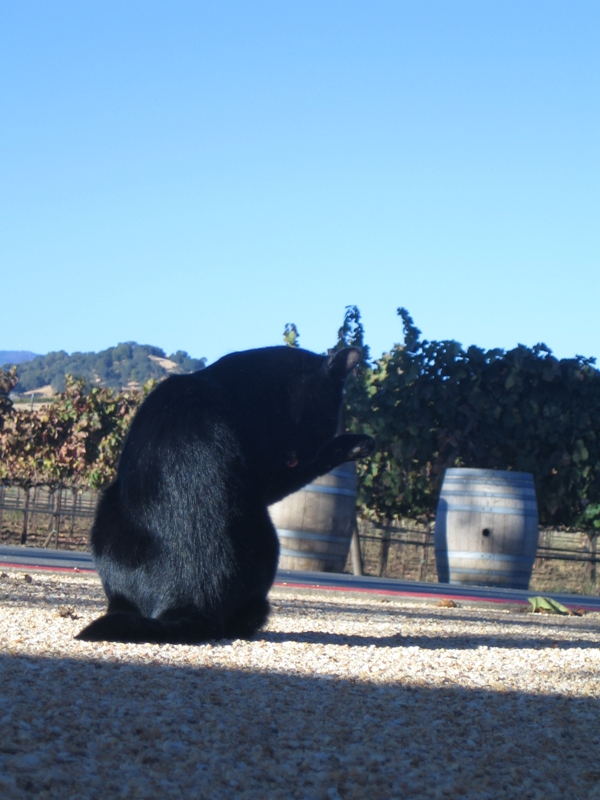black cat in vineyard