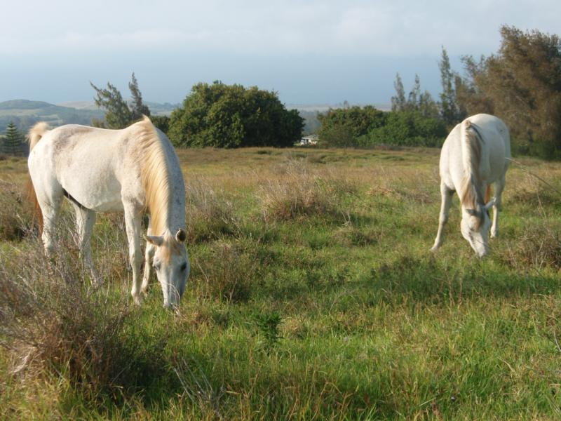 Horses grazing at Maliu Ridge