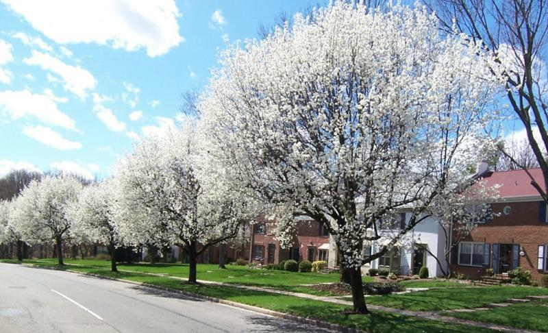 Bradford Pears Blooming in Charlestown WS