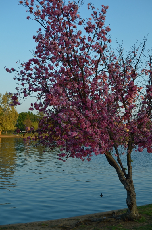 Lake Balboa Cherry Blossoms 2013