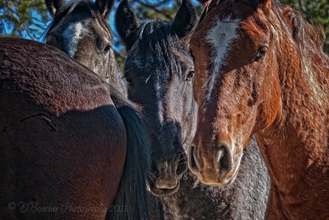Wild Mustangs of the Little Book Cliffs Range, Colorado Copyright 2011 DBoucher-Photography.com