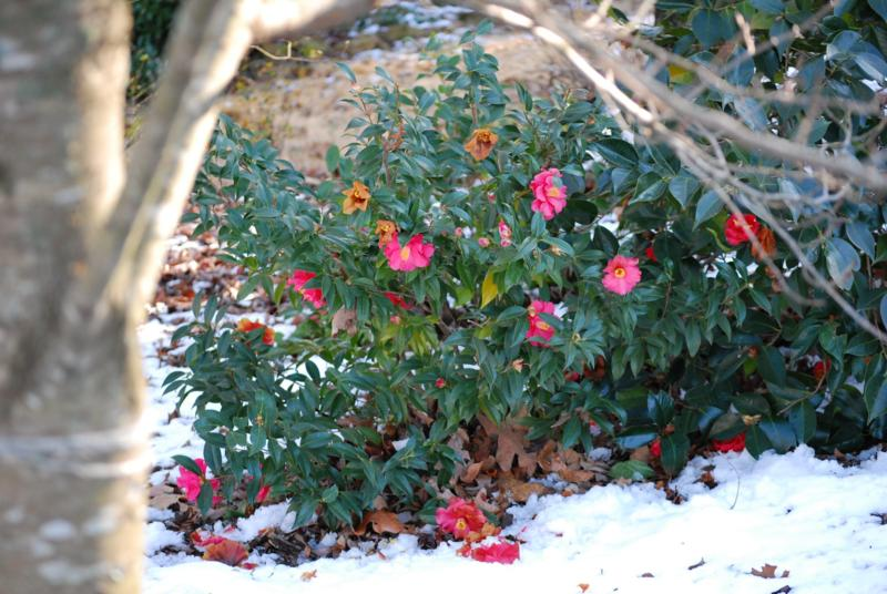 Camelia with Snow in Hoover Alabama