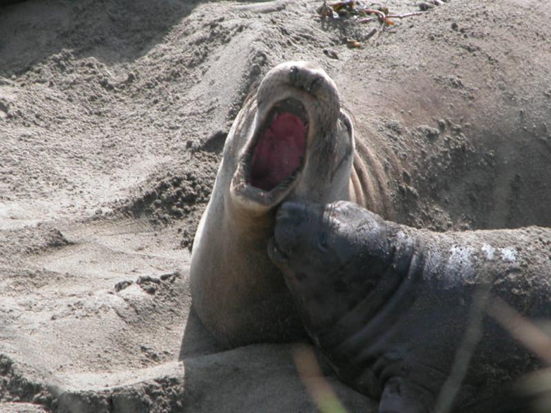 He roars
