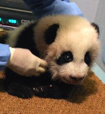 panda crawling
