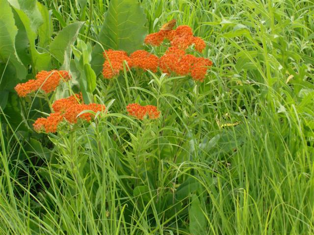 butterfly weed by Ann Hayden