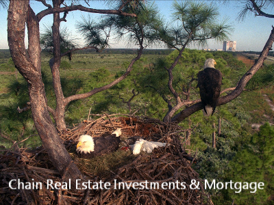 Bald eagles nesting pair chain real estate Chico CA