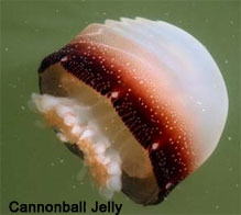 Canon Ball Jellyfish