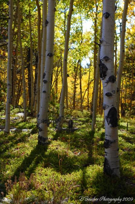 Aspen Grove - fall color change