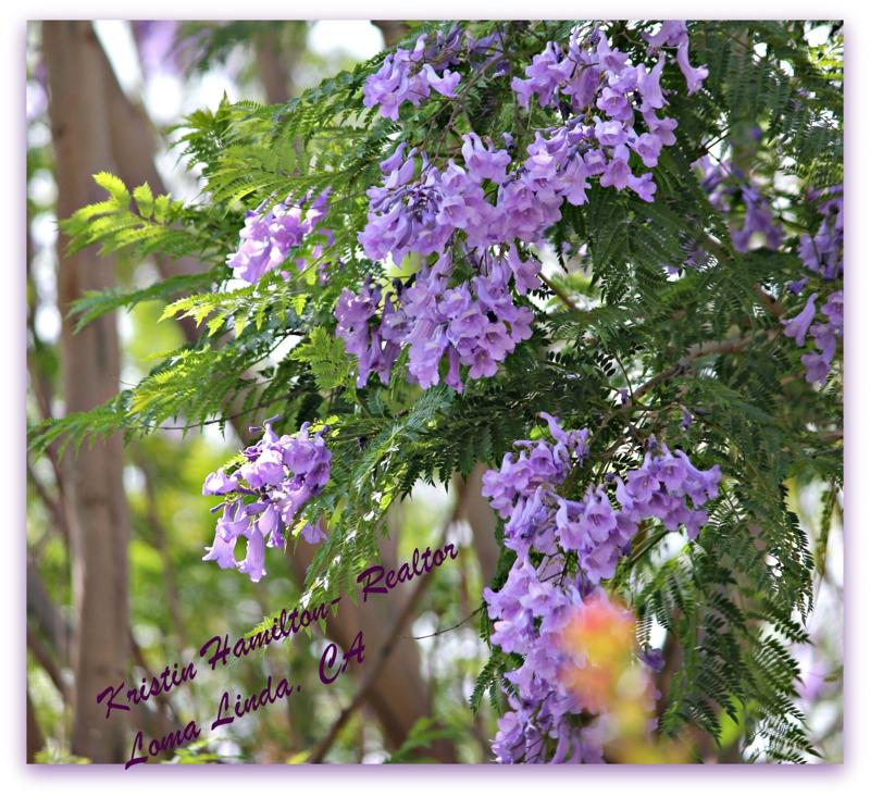 Purple jacaranda treesautiful but messy mightylinksfo